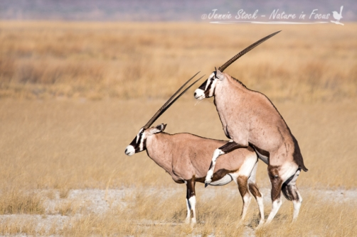 Mind your eyes - mating pair of Gemsbok