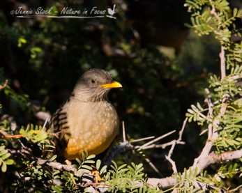 Olive Thrush in the shrubbery at the dam