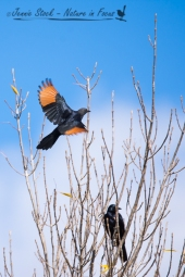 Red-winged Starling in flight