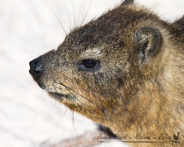 Rock Hyrax or Dassie at Boulders