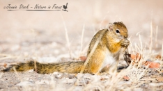 Smith's Bush Squirrel in camp at Halali, Etosha