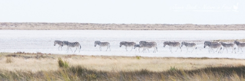 A herd of zebra crossing Etosha Pan