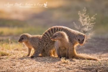 Banded Mongoose family in Namutoni camp