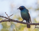 Cape Glossy Starling at Halali