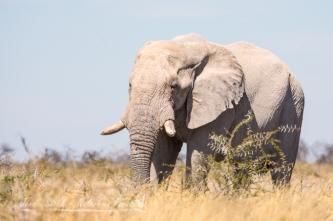 Very pale Etosha elephant