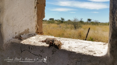 Lizard on windowsill of a very rustic ladies toilet