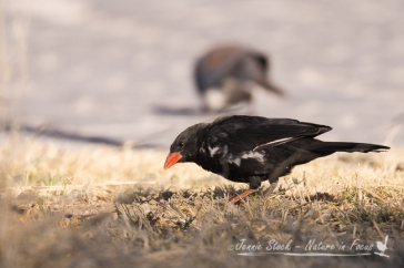 Red-billed Buffalo Weaver in Namutoni camp