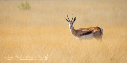 Springbok in a sea of grass
