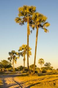 Makalane palms