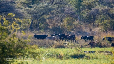 Angolan cattle