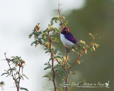 Violet-backed Starling male in early morning sun